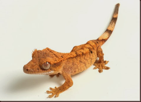Amazing Animal Pictures crested geckos (7)