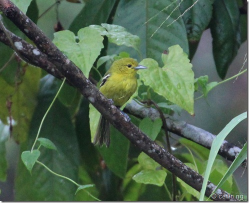 common iora (2)