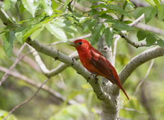 Summer Tanager Quintana