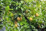 Nutmegs On The Tree - St. George's, Grenada