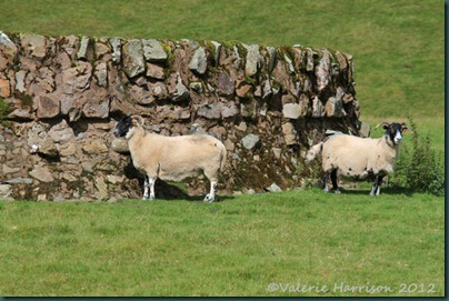 41-sheep