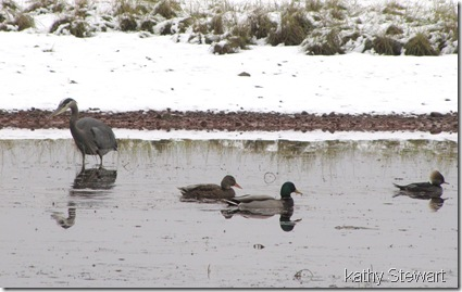 Heron, Mallard and Hoodies