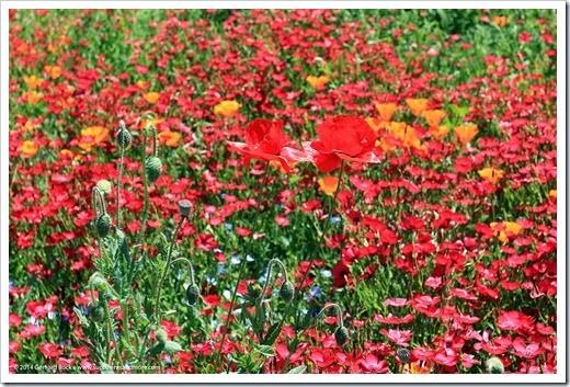 140414_SoDavis_wildflower_meadow_007