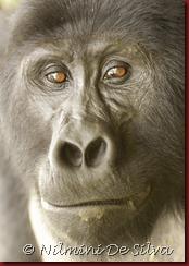 Gorillas-5