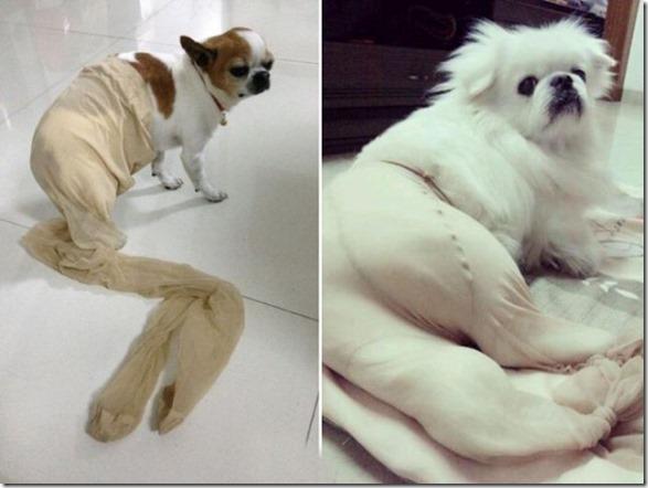 dogs-pantyhose-12
