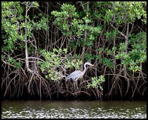Great Blue Heron on Mangroves