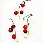 redcurrants.jpg