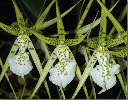 OR Brassia verrucosa