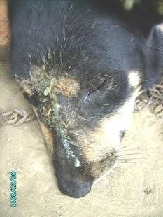 Perrito con tumor  en la nariz. Ya estaba infectado y con pus.