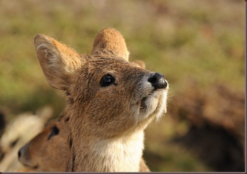 Amazing Animal Pictures Water Deer (2)