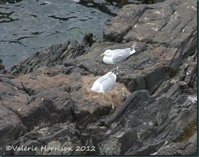 31-nesting-herring-gulls