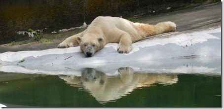polar-bear-bronx-zoo
