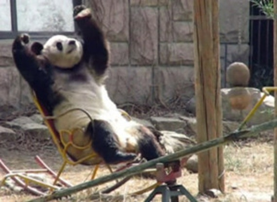 Panda Loves To Rock