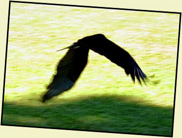 05f - Flight demo - Yellow Headed Vulture 2