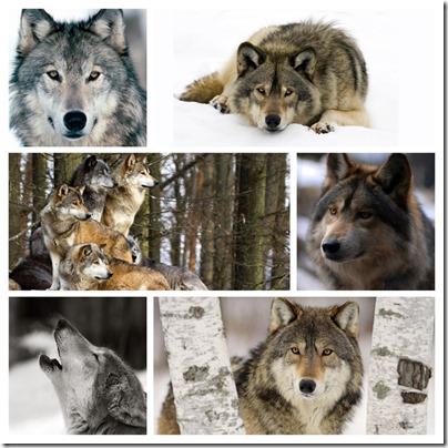 week 36 - wolves copy