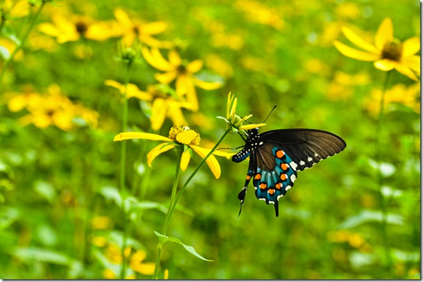 swallowtail butterfly MT Mitchell