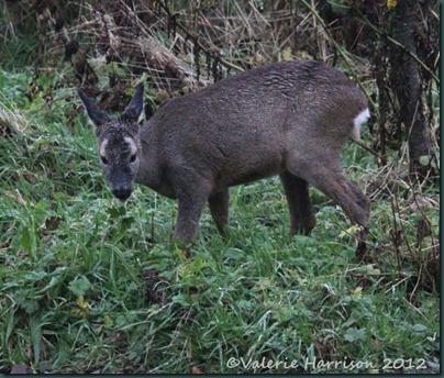 roe-deer-5