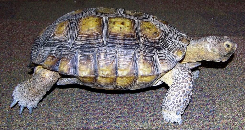 [tortoiseforshirt%255B3%255D.jpg]