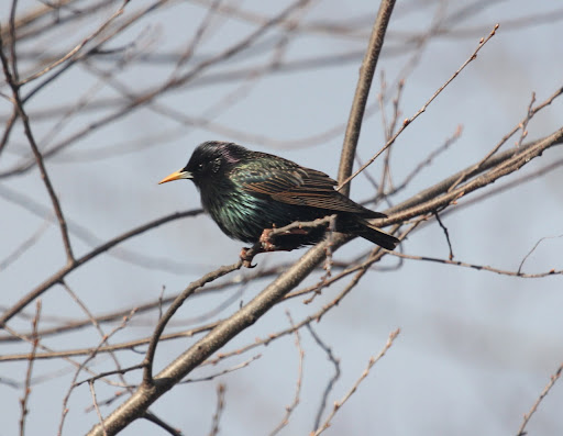 OK, we know. Just a Starling, but look at those feathers! So pretty.