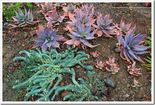140208_RBG_Euphorbia-myrsinites- -Aloe-striata-x-maculata_001