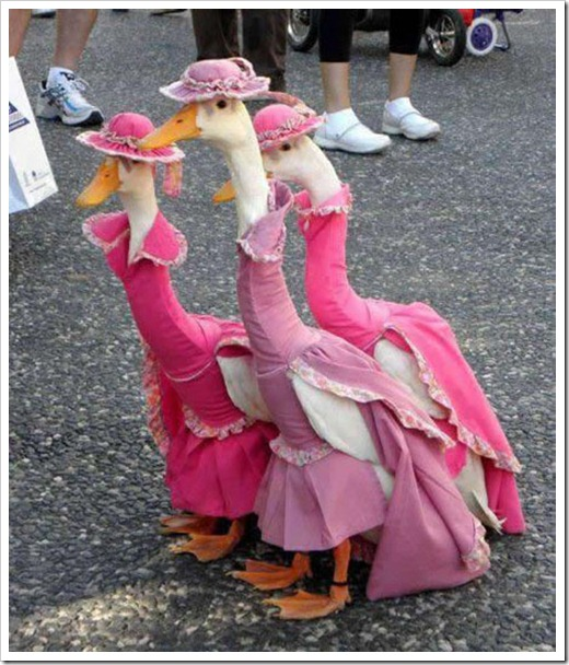 Geese in hats and dresses