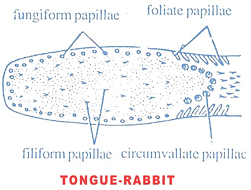tongue-rabbit
