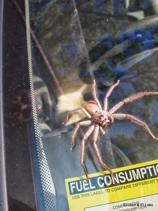 Huntsman spider (2)