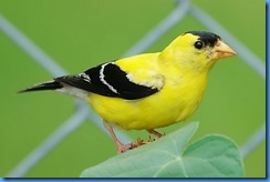 509-yellow_finch