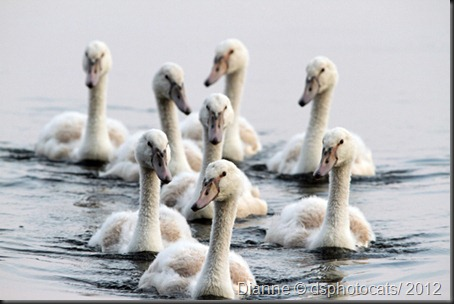 IMG_6034_Cygnets/2012_2mos.old