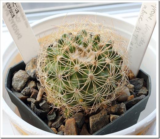 111218_Discocactus-araneispinus
