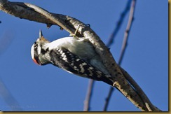 Downey Woodpecker  D7K_6489 October 21, 2011 NIKON D7000