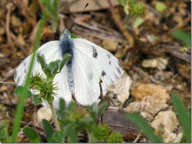 Checkered_White_Butterfly