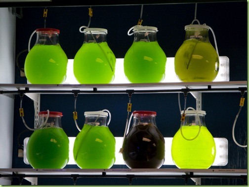 lab-grown-algae-in-jars