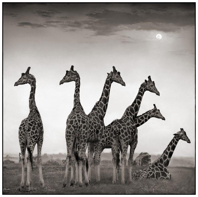 16 Giraffe Fan