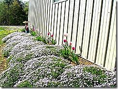 spring_Phlox_2005