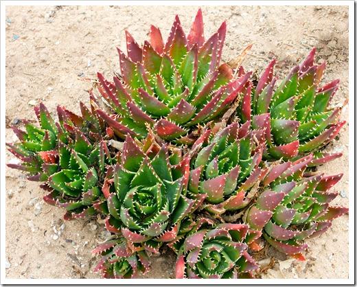 120928_SucculentGardens_Aloe-mitriformis