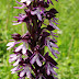 Orchis%252520purpurea%25252c%252520navur%25252c%2525202011.06.12