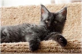 Фото история котят мейн кун в возрасте 7,5 недель 35