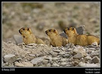 Amazing Pictures of Animals, Photo, Nature, Incredibel, Funny, Zoo, Himalayan marmot, Sciuridae, Mammalia, Alex (14)