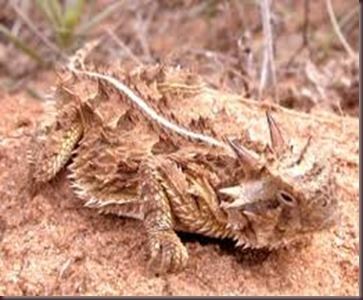 Amazing Pictures of Animals, photo, Nature, exotic, funny, incredibel Zoo, Horned lizard, Phrynosoma, Reptilia, Alex (3)