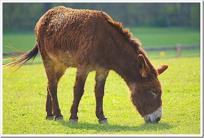 mule-public-domain-picture (3)