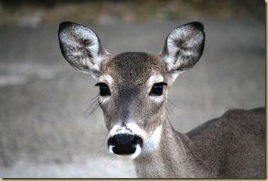 Deer - Portait 1