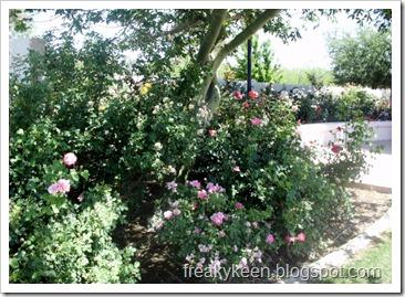 MCC Rose Garden 8