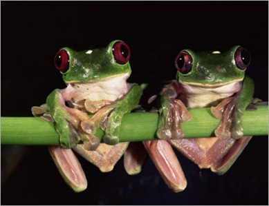 oxford-pete-maroon-eyed-leaf-frogs-esmeraldas-ecuador - copia