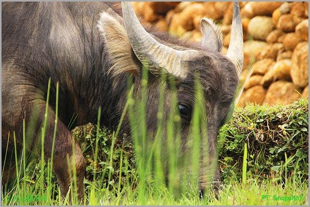 Buffalo having grasses