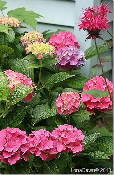 Hydrangea_AlpenGlows_ManyColors