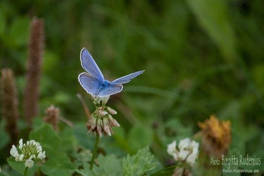 butterfly_20110729_blue6