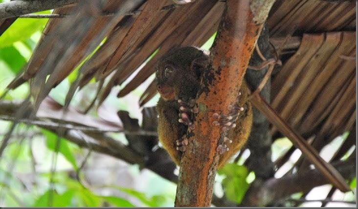 tarsier phillippines