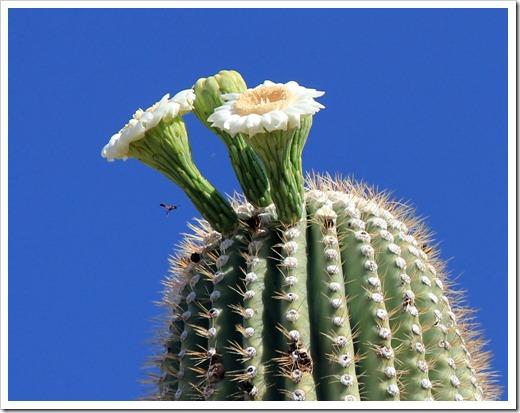 120729_SaguaroNP_030