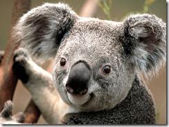 Koala fade out